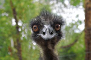 silly emu